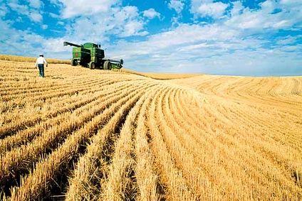 فصل برداشت، قیمت گندم را نزولی کرد